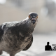 Afaste os pombos contratando uma empresa de dedetização