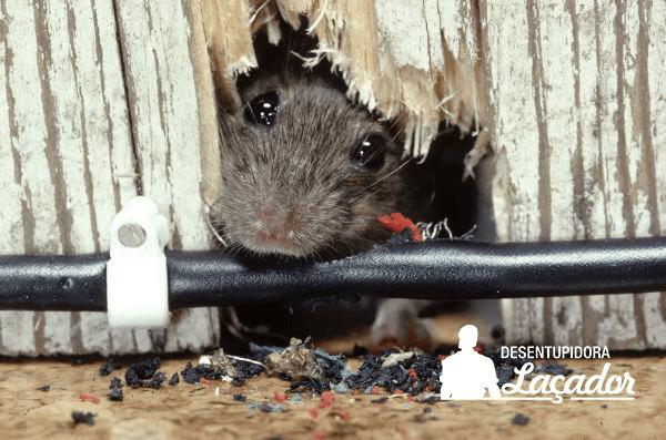 Combata a infestação de ratos contratando uma desratizadora